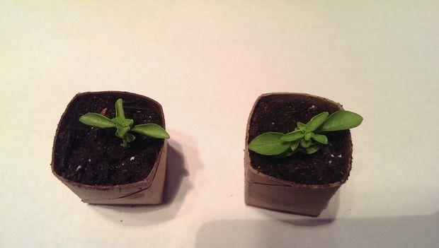 """Criar entradas de sementes biodegradáveis com <a href=""""http://www.instructables.com/id/Biodegradable-toilet-paper-roll-pots/"""" rolos de papel higiénico target=""""_blank""""> </a>."""