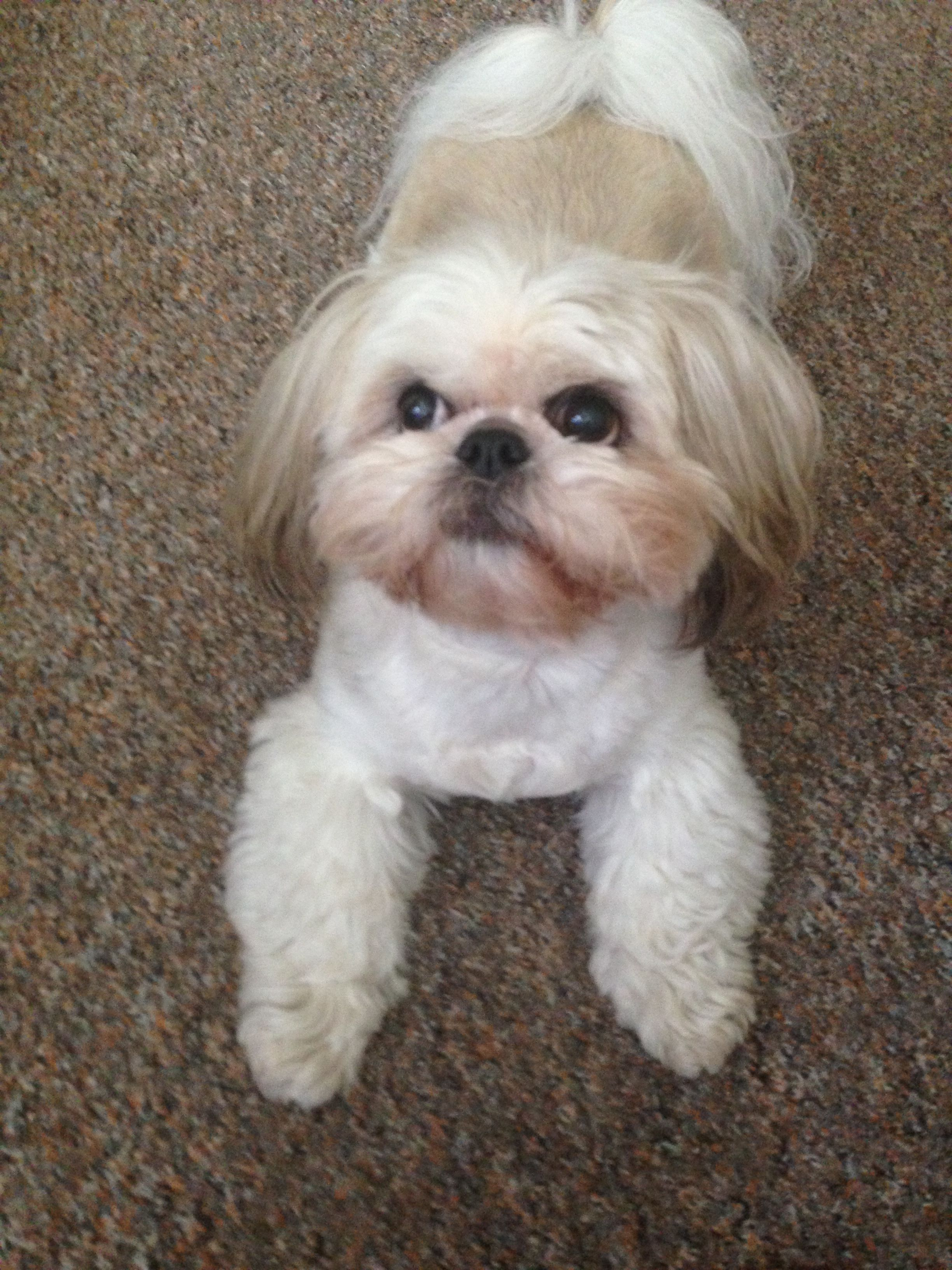 Cheeky Face Look At Those Fluffy Paws Maisy The Shih Tzu Cutest Small Dog Breeds Cute Small Dogs Shih Tzu