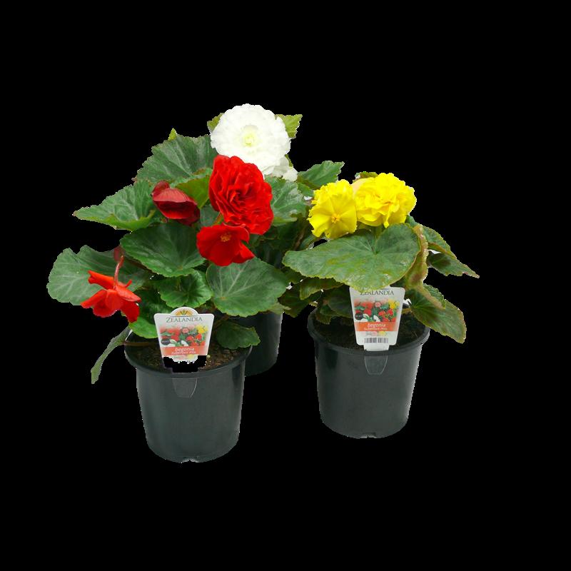 1.3L Begonia Begonia tuberous Plant seedlings, Begonia