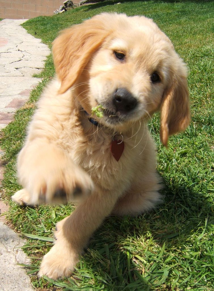 Golden Retriever puppy saying Hi! Golden retriever, Cute
