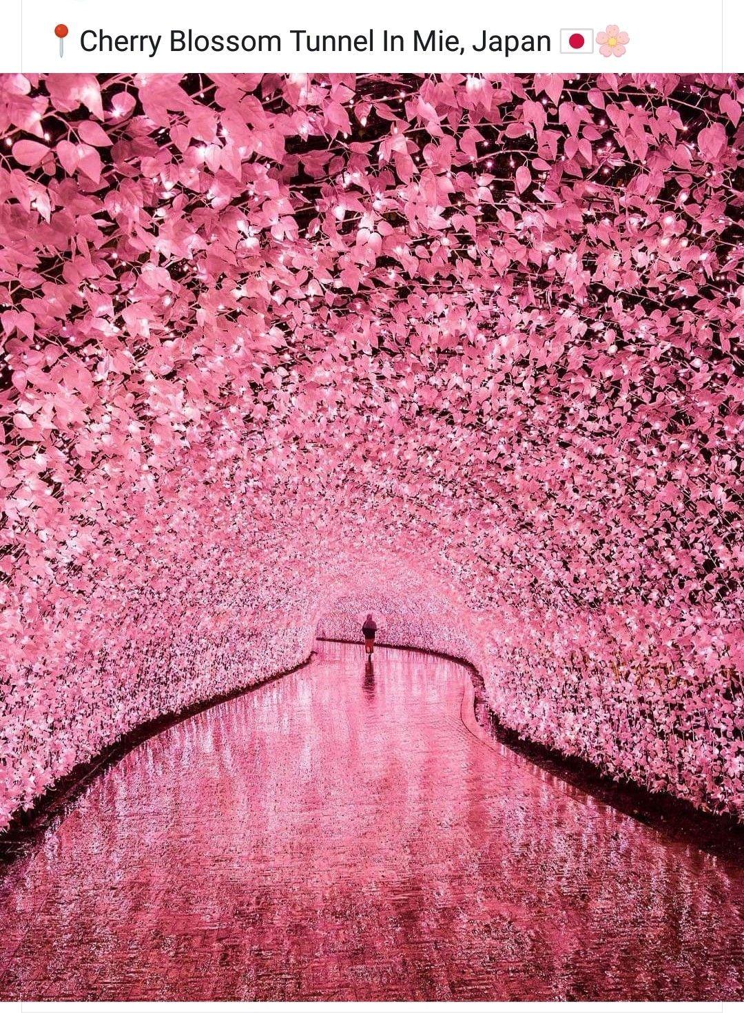 Cherry Blossom Tunnel Nabana No Sato Mie Japan Cherry Blossom Japan Cherry Blossom Nabana No Sato