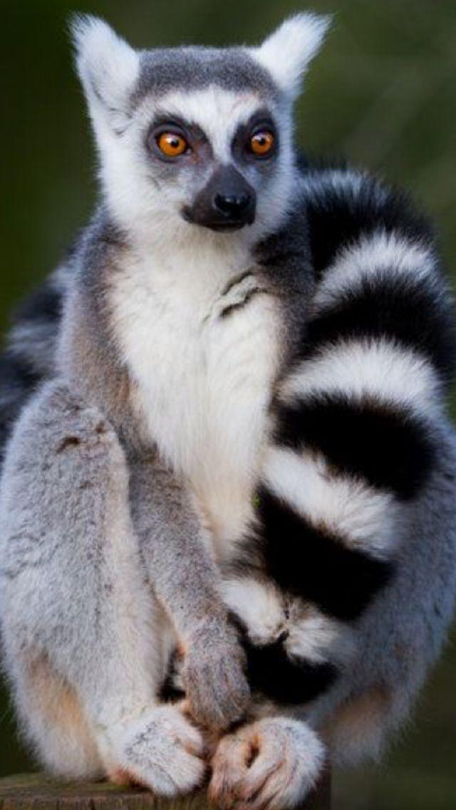 Pin von Oliver Adams auf Lemurs Süßeste haustiere