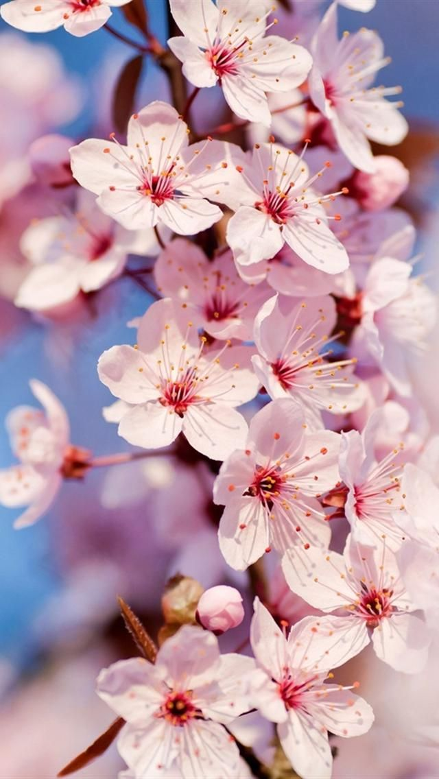 Pin Van Lo Dautel Op Cherry Blossom Wallpaper In 2020 Japanse Kersenbloesems Iphone Achtergrond Kersenbloesem Cool cherry blossom wallpapers