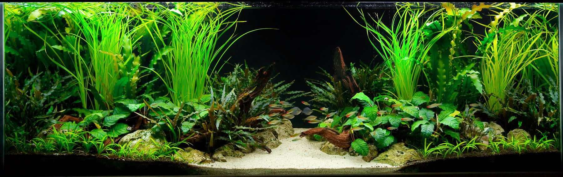 Aquarium design group a two sided live planted aquarium for Planted tank fish