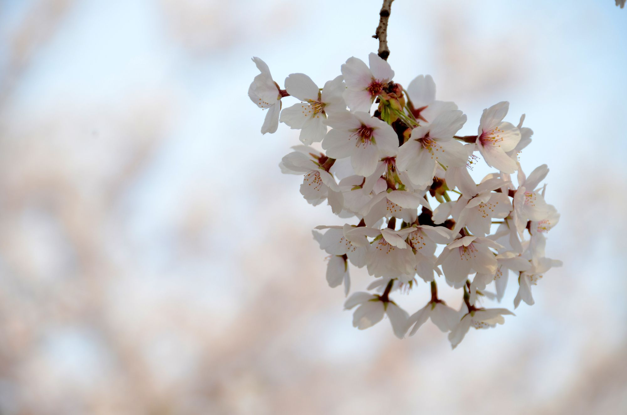 Korea Cherry Blossom 2021 Forecast The Best Time 9 Best Places To See Cherry Blossoms In Korea Living Nomads Travel Tips Guides News Information Cherry Blossom Korea Travel Places To See