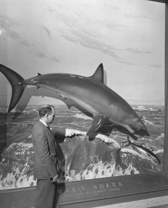 Visitor Viewing Mako Shark Diorama Hall Of Fishes 1948 American Museum Of Natural History Shark Museum Diorama
