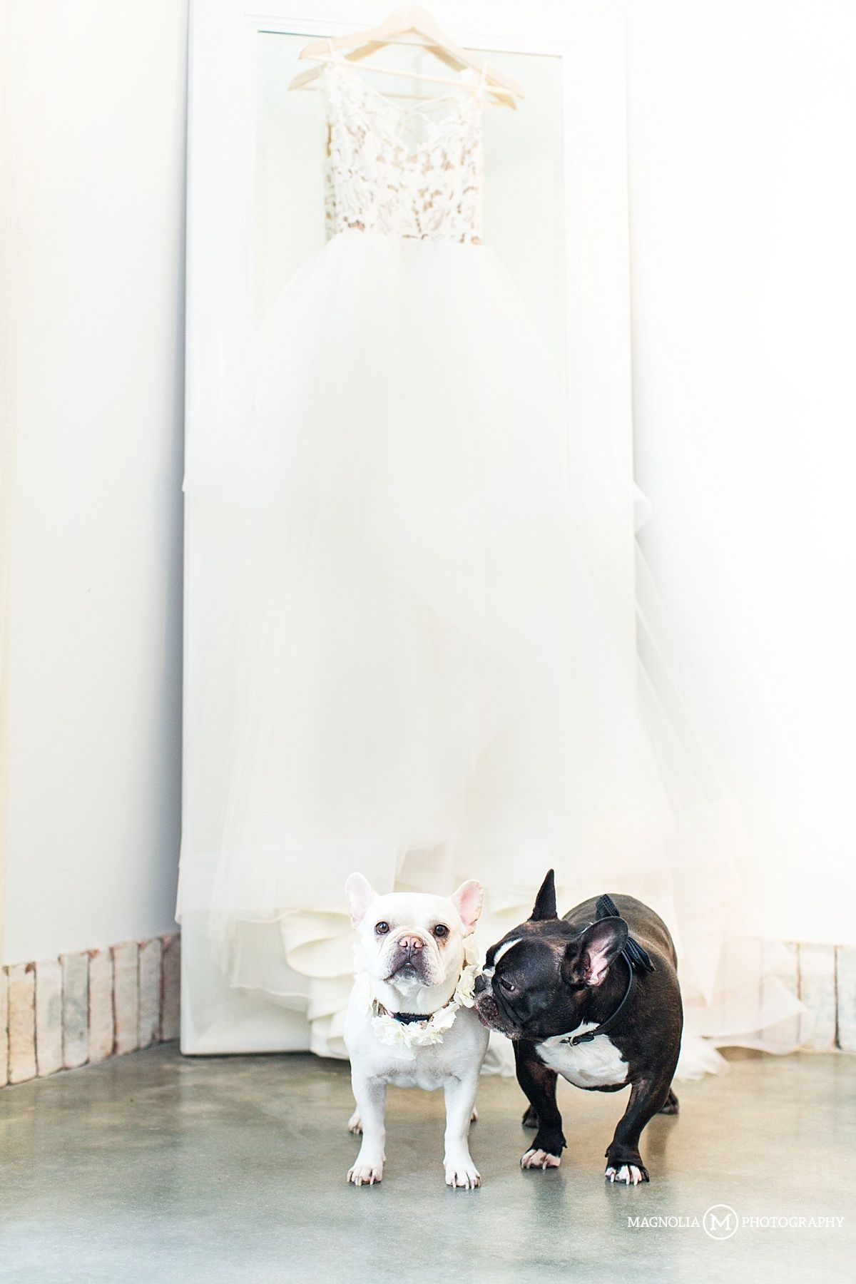 Wrightsville Manor Wilmington Nc Dogs Of Mp French Bulldogs