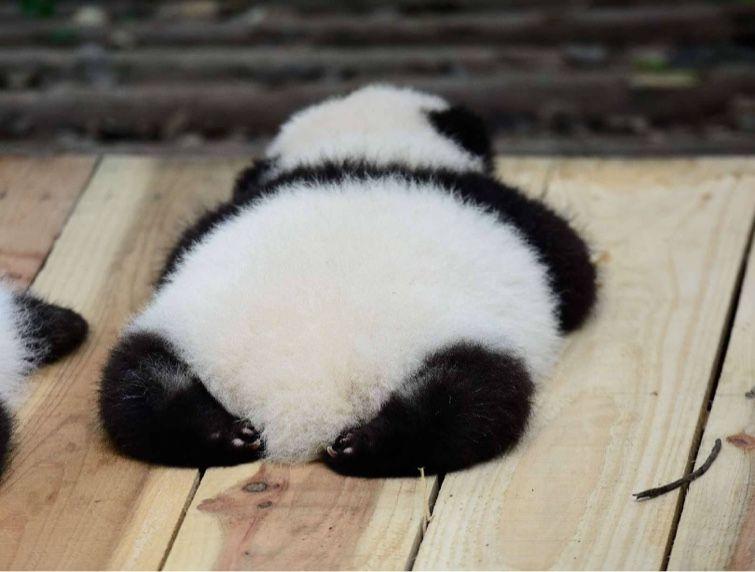 Cute Panda Baby Please Follow Lichao For More Panda Pictures 可愛すぎる動物 パンダ 赤ちゃん かわいい動物の赤ちゃん