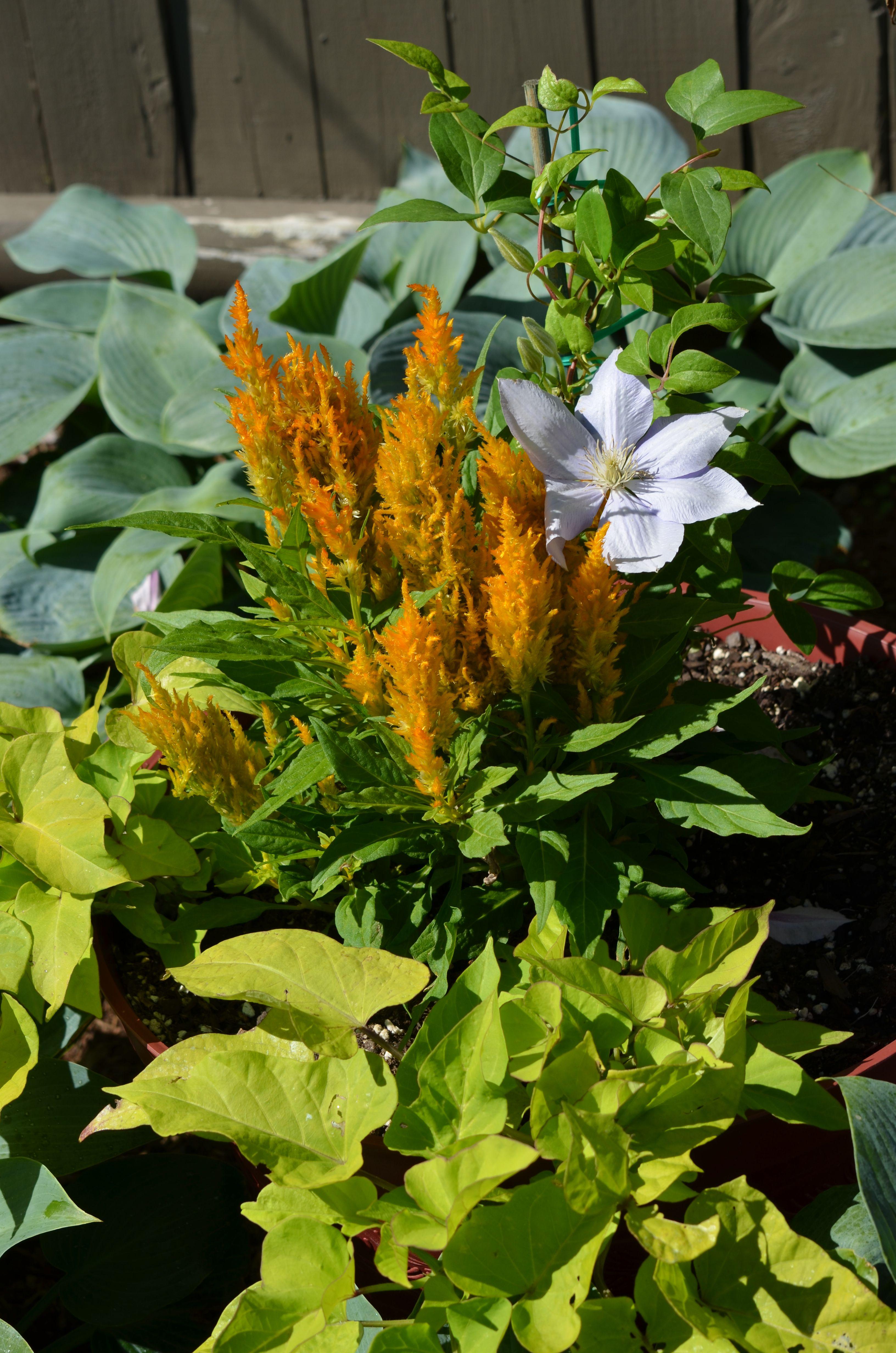 Clematis Flueri Clematis Plants Garden