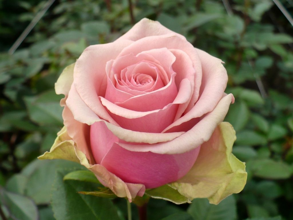 Geraldine is a delicate light pink rose