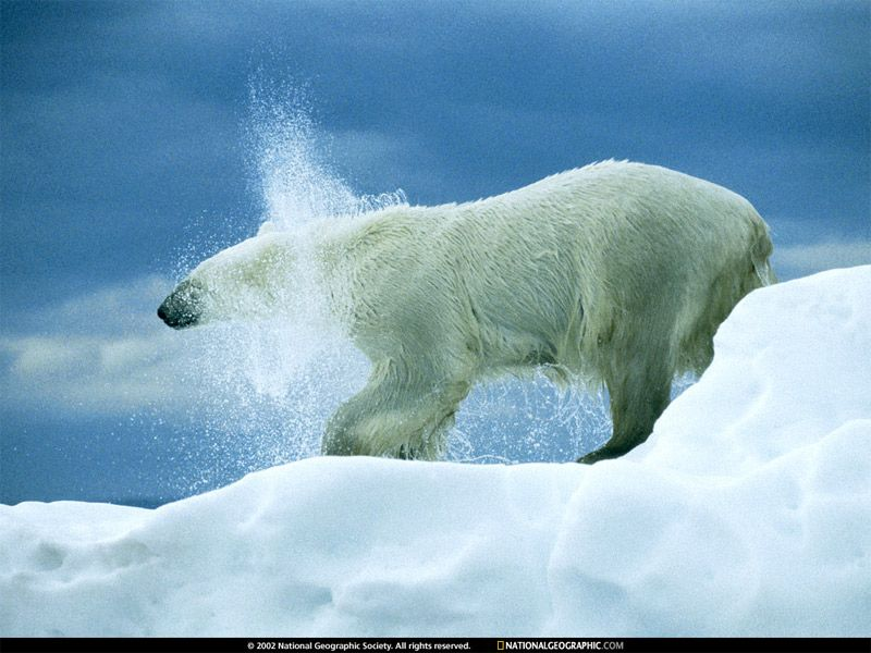 Httpphotographytionalgeographicstaticfilesngsshared find this pin and more on bears by stephenps voltagebd Images