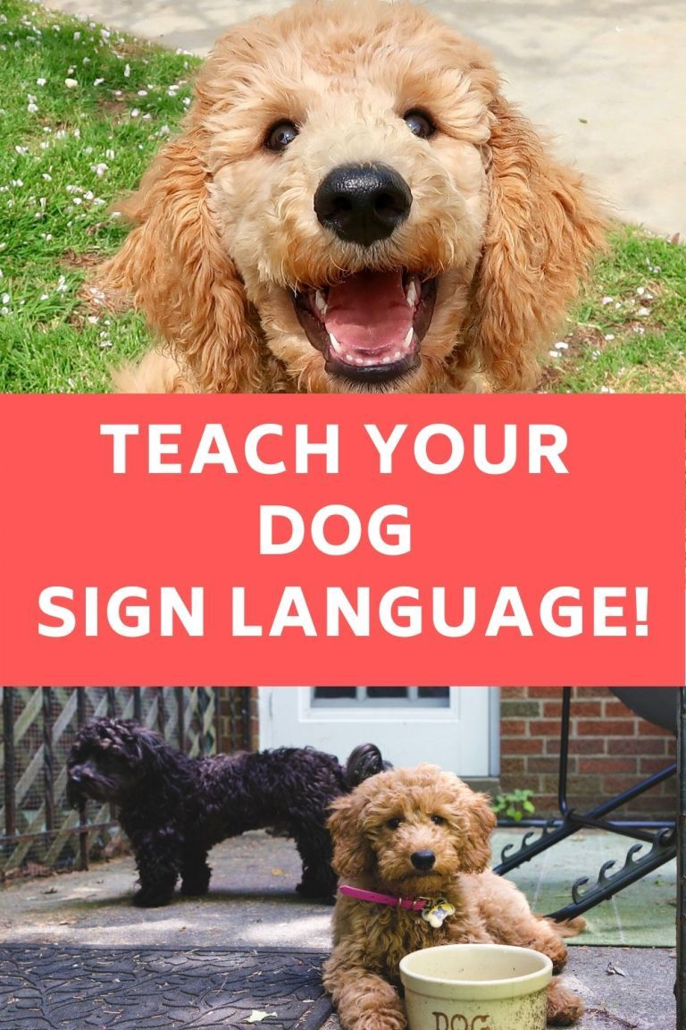 Detailed training guide to teach dogs sign language in