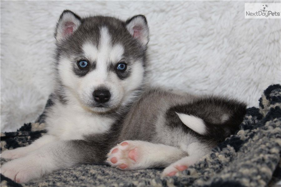 You Ll Love This Male Siberian Husky Puppy Looking For A New Home Husky Husky Puppy Siberian Husky For Sale