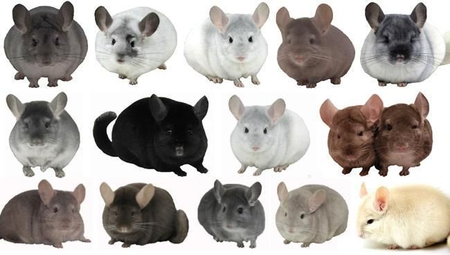 Chinchillas Caviomorpha Chinchilla pet, Chinchilla, Chinchilla care