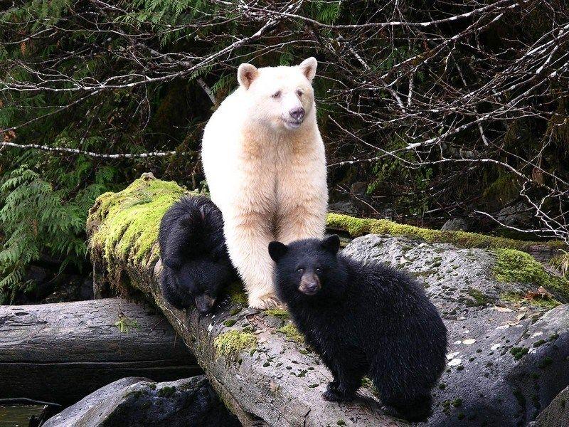 Black Is Beautiful 27 Stunning Animals With Melanism Rare Albino Animals Albino Animals Spirit Bear