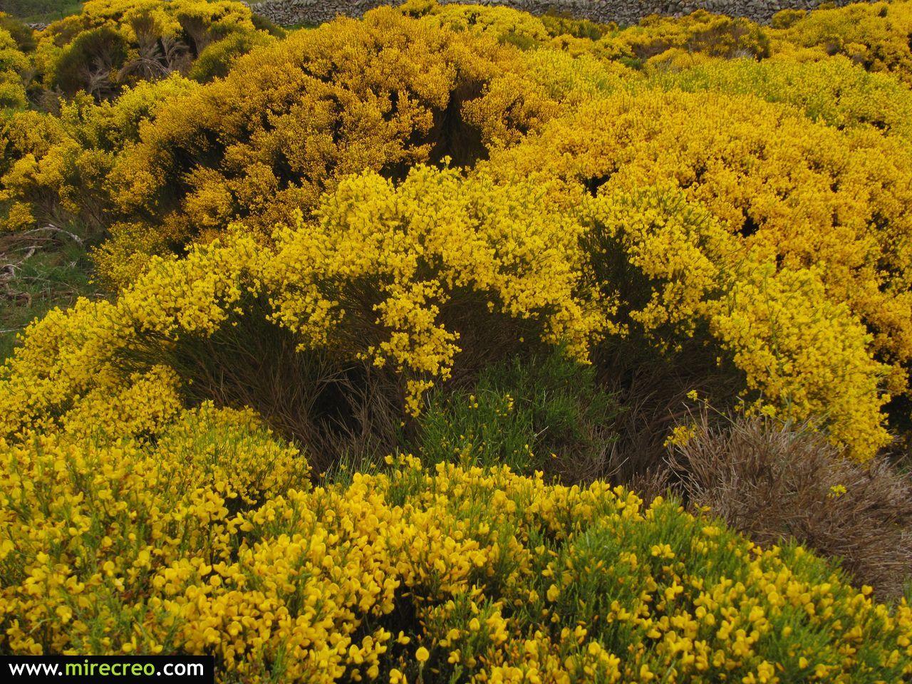 Piornos en flor. Ruta por San Martin de la Vega del Alberche, Sierra de Gredos, Avila  #avila #nature #senderismo #mirecreo #hiking #spring #primavera #castillayleon #trips #escursiones #flowers #flores