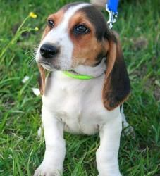Deuce Is An Adoptable Basset Hound Dog In Portsmouth Ri What Is
