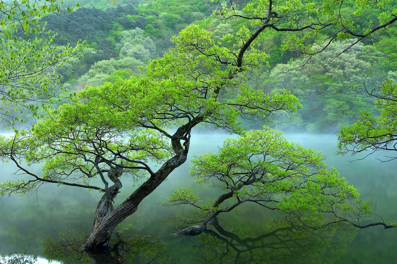 Mist Trees Arvores