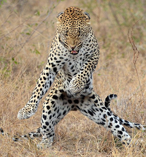 The leopard may look like he's doing the moves from popular music video Gangnam Style, by standing on his back legs and dancing, but he's trying to impress a female.