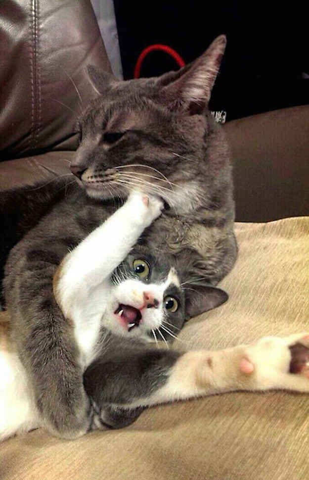 This Cat Who Literally Cannot Handle This Other Cat Animal Humour Funny Animals Funny Animal Pictures