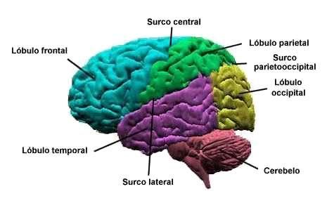 La corteza cerebral: áreas motoras, de asociación y del lenguaje ...