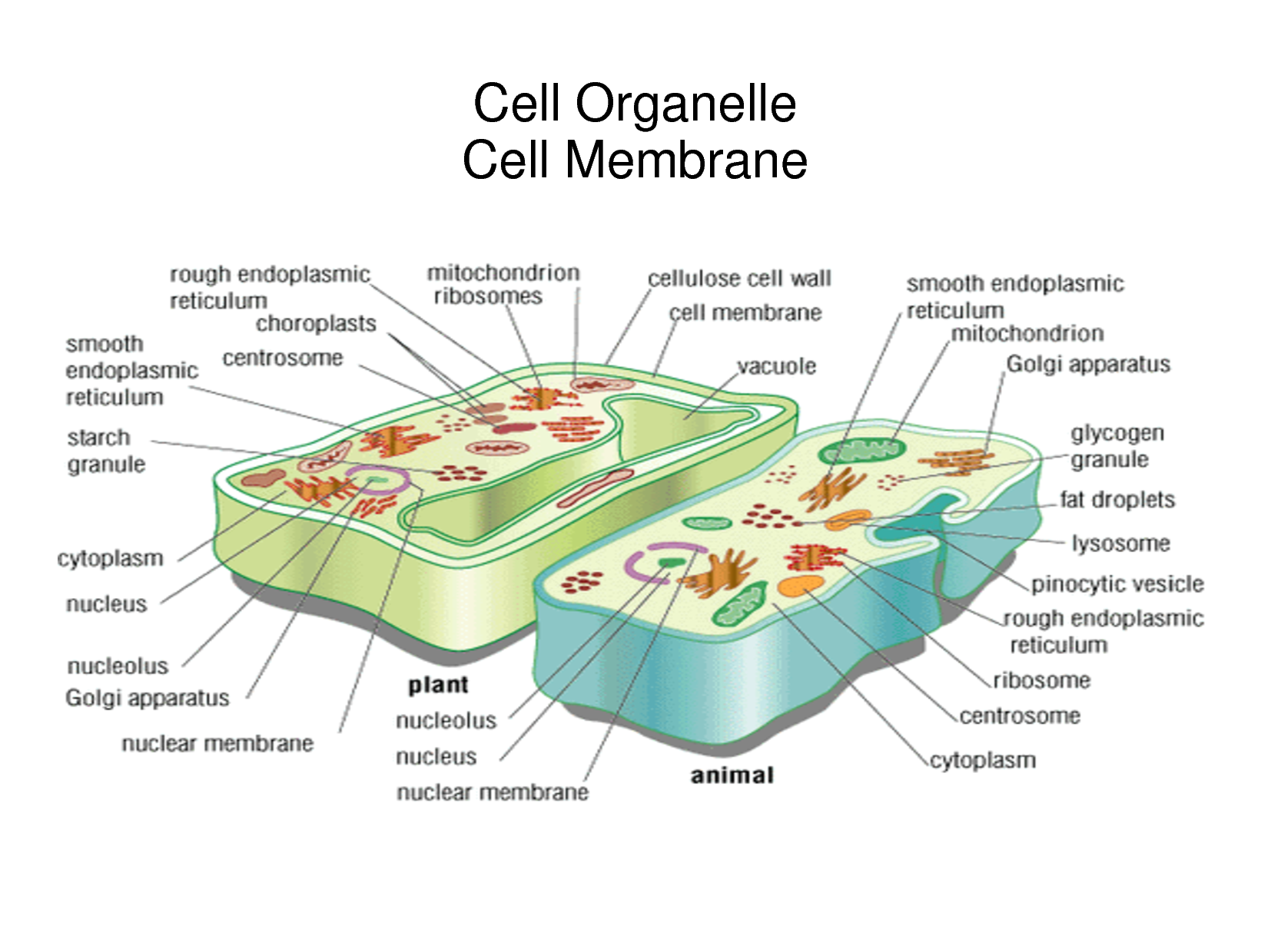 organelle with its function bing images nuclear on cell wall function id=85198
