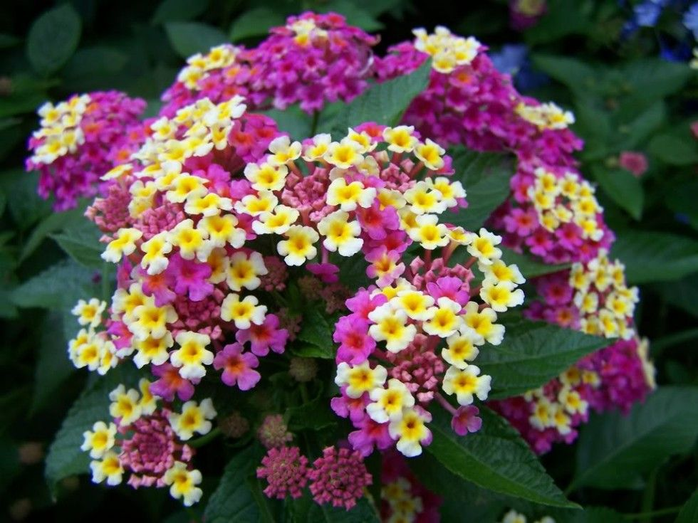 Pin By Mehmet Sahin On Mine Lantana Trees To Plant Easy Plants To Grow Plants