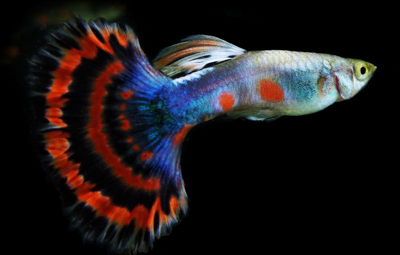Rare Fancy Guppies For Sale