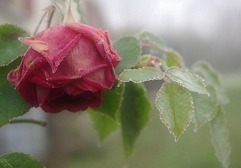 Rose de décembre