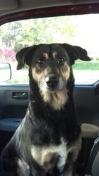 Adopt Phoebe On German Shepherd Dogs Dogs German