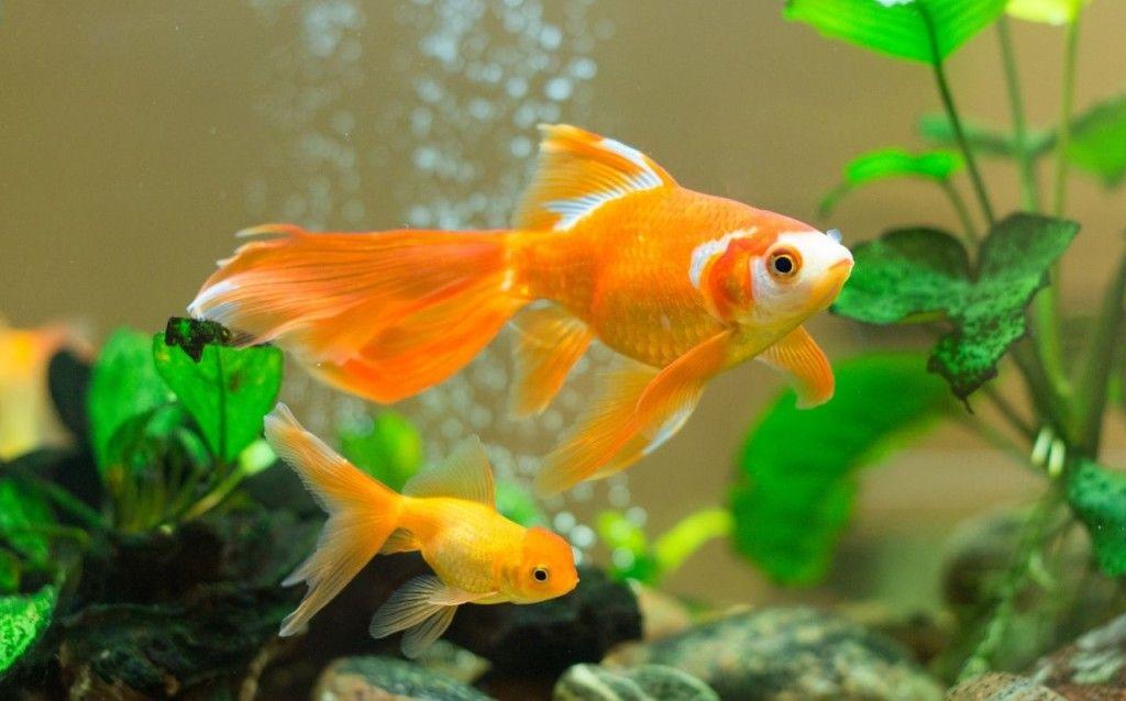 Pin by Елена Кондратеня on Подводный мир | Goldfish ...