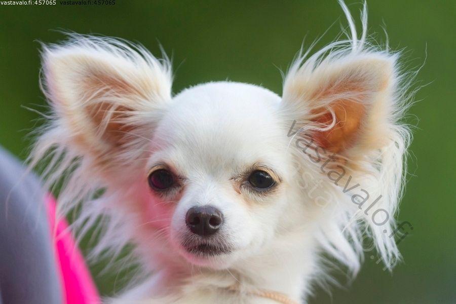 Pin By Maiju S On Chihuahua Dogs Dogs Chihuahua Dogs Chihuahua