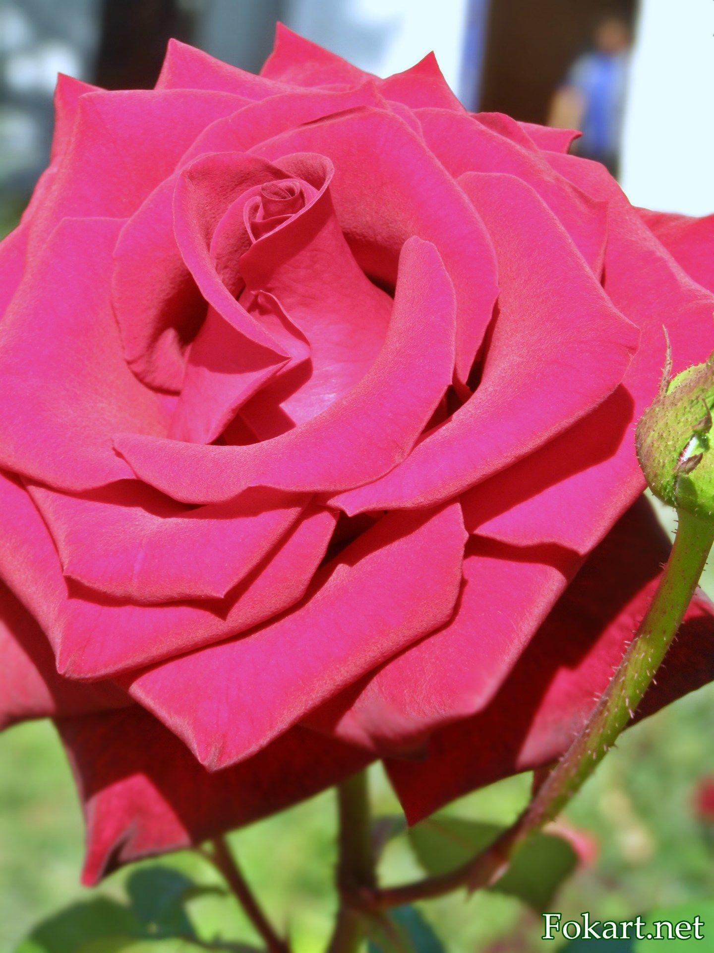 Красивая малиновая роза на клумбе   Розы, Клумбы, Картинки