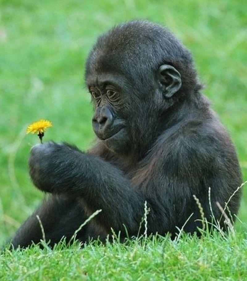 Гориллы - нежные великаны (5 фото) | Фотографии обезьян ...