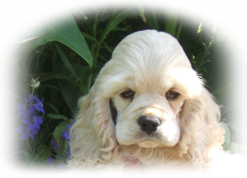 Cocker Spaniel Puppy Breeder Cocker Spaniel Puppies For Sale Cocker Pups Ny Champion Lines Cockers Coc Spaniel Puppies Cocker Spaniel Puppies Cocker Spaniel