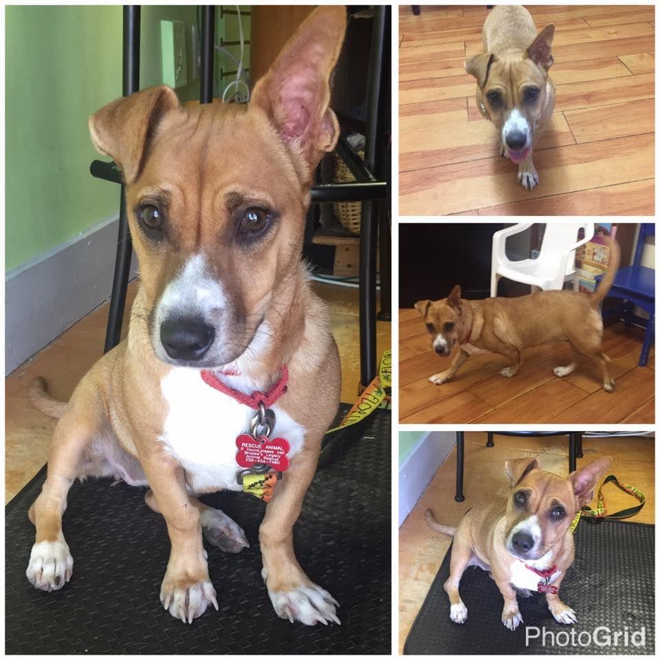 Beagi dog for Adoption in Naples, FL. ADN427203 on