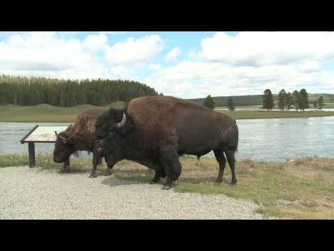 """""""Wild Buffalo"""" by Kristen"""