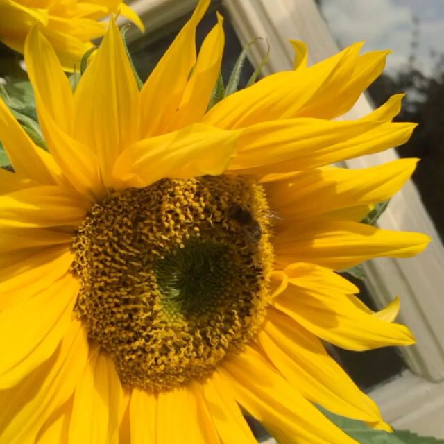 Sunny Sunflower Moon Flower Plants Sunflower