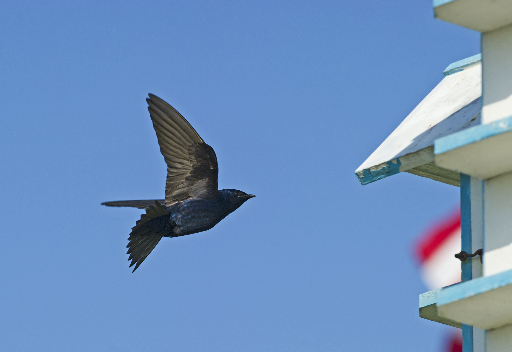 Easy Tips For Attracting Purple Martins To Your Yard Purple Martin Martin Bird Purple Martin House