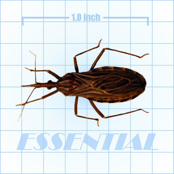 Kissing Bug Pest Id Slide Bugs Rodent Problem Pests