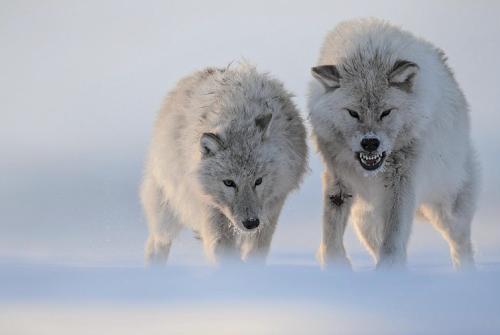 Wolf pair!