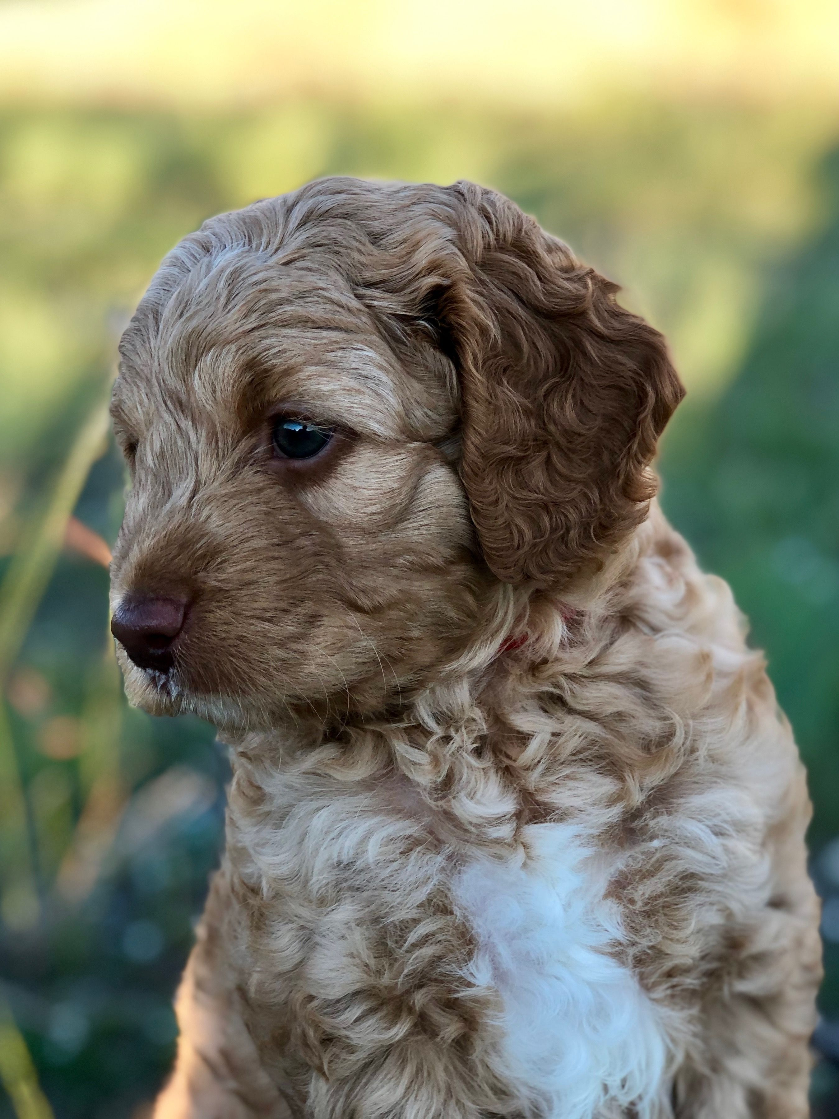Caramel With White Chest Australian Labradoodle Puppy Labradoodle