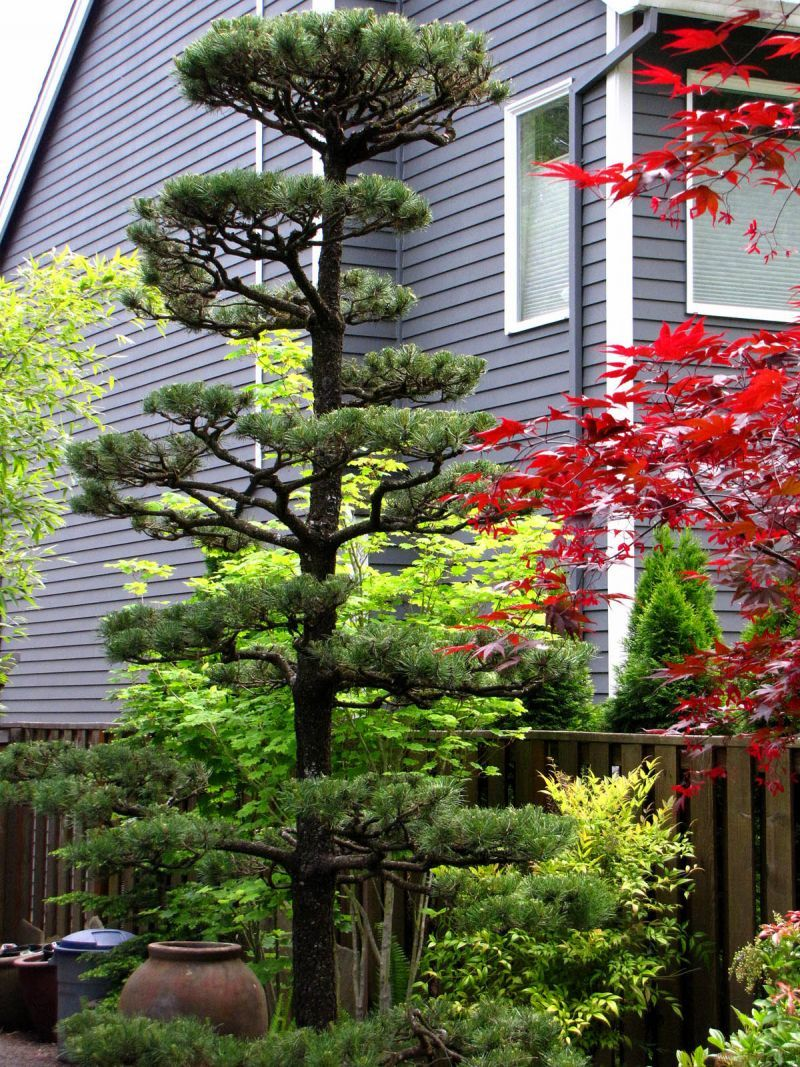 Topiary pine tree pruning in sherwood oregon http www for Japanese trees for landscaping