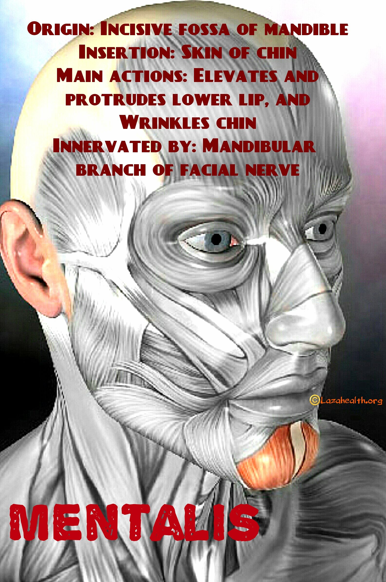 Muscles of facial expression: mentalis | massage therapy | Pinterest