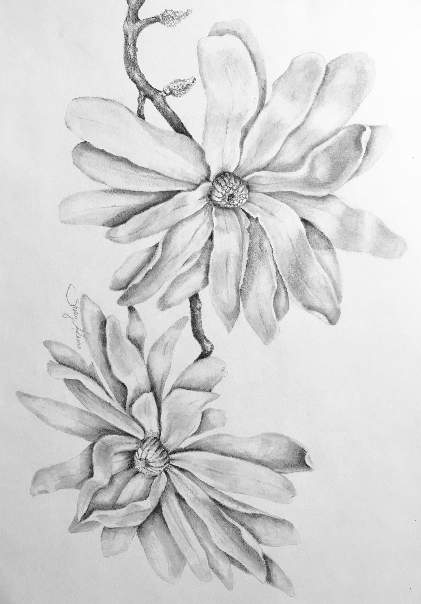 Pencil drawing of magnolia flowers nature art pencil art flower art flower drawing