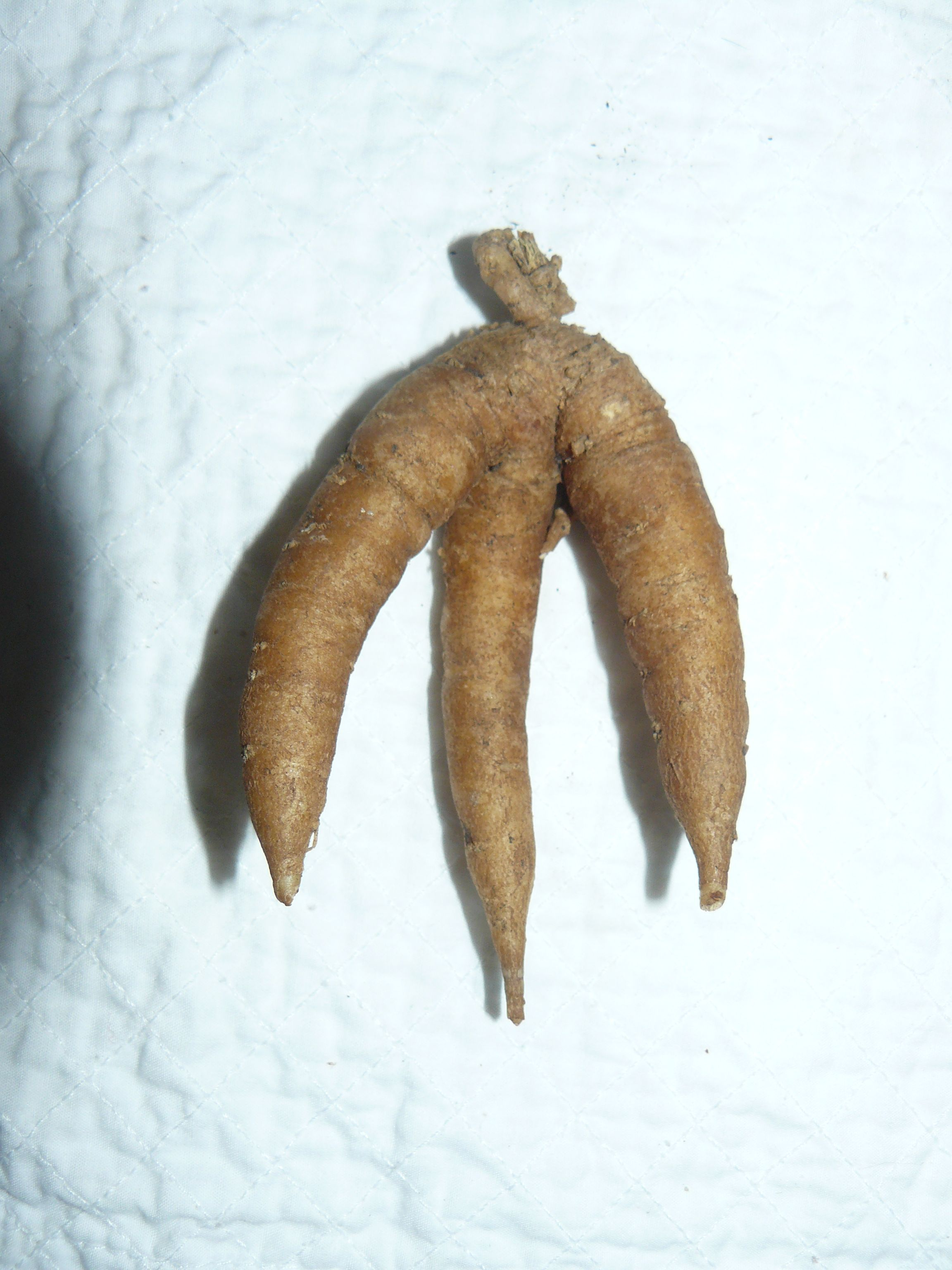 Large Whole Mandrake Root Http Witchiestuff Roots