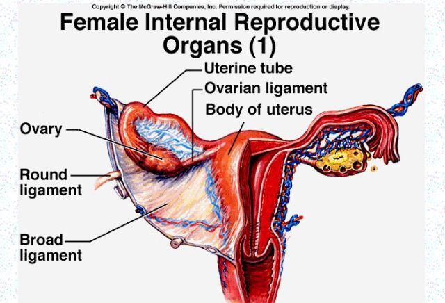 Round Ligament Anatomy Female Reproductive Anatomy
