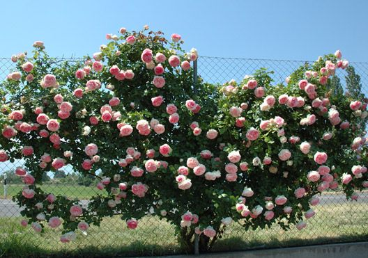 grimpant pierre de ronsard rosen kletter rosen. Black Bedroom Furniture Sets. Home Design Ideas