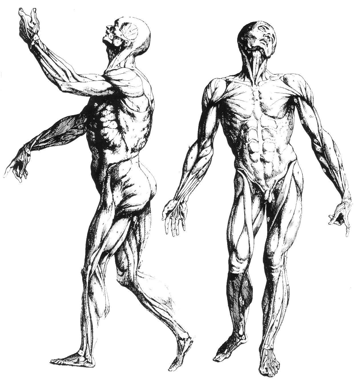 anatomia muscular tronco - Buscar con Google | anatomy | Pinterest ...