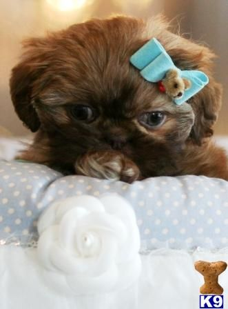 Shih Tzu Puppies For Sale In Florida Shih Tzu Puppies In Florida Listing Shih Tzu Puppy Shih Tzu Puppies